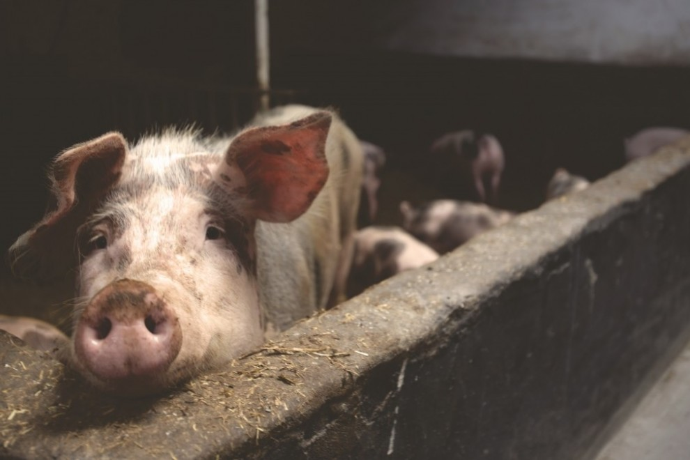 Imagen de archivo de un cerdo en una granja. - PxHere (CCO)