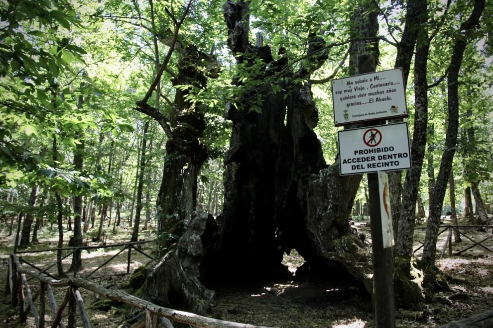 Imagen de 'El Abuelo', el castaño más longevo del castañar de El Tiemblo, Ávila.