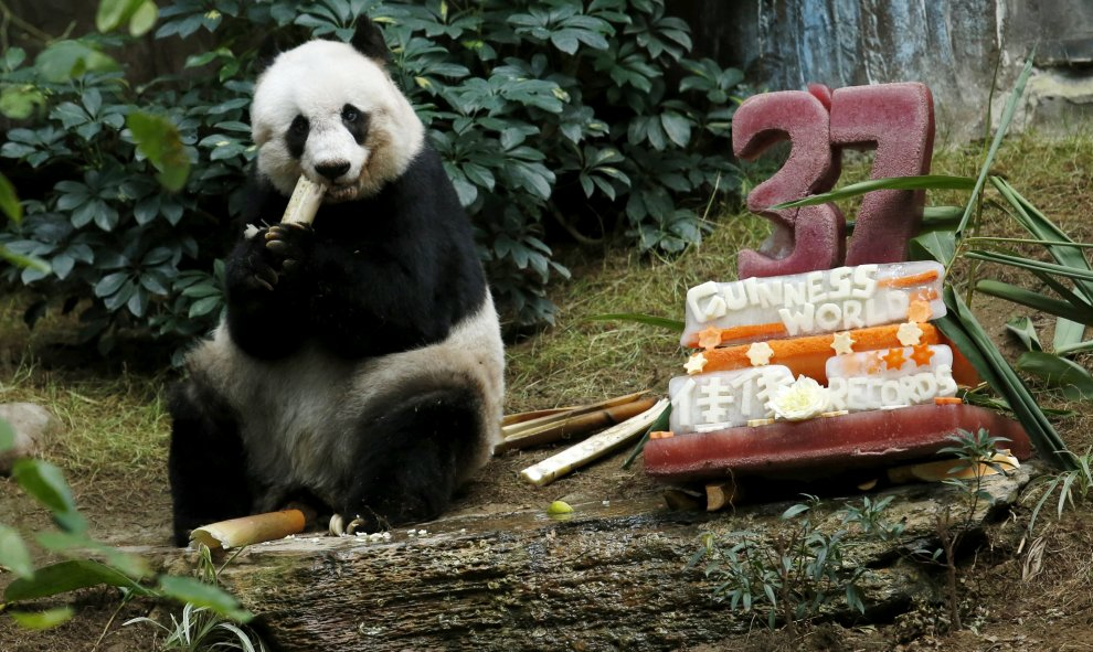"Un panda gigante Jia Jia come junto a un pastel de cumpleaños hecha de hielo y verduras. Cumple 37 años de edad en el Hong Kong Ocean Park, China, 28 de julio de 2015. Jia Jia ha ganado un Guinness World Record por ser "" el Panda más antiguo en cautiverio"