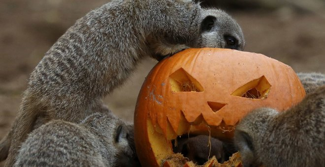 Calabaza decorada para Halloween en Chester Zoo, Reino Unido. REUTERS
