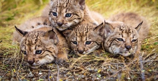 Linces ibéricos de Doñana /EUROPA PRESS