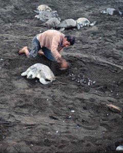 Un hombre recoge huevos en un programa de protección de tortugas en Ostional, Costa Rica. YURI CORTEZ (AFP)