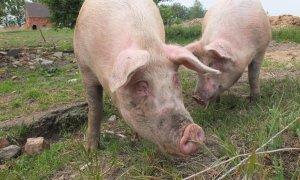 La ganadería familiar del porcino está sucumbiendo ante el avance de las macrogranjas y la industrialización del sector   PxHere