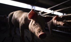 Un cerdo en una granja industrial. AFP