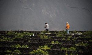 Agricultores recogen uvas en la isla canaria de Lanzarote. DESIREE MARTIN / AFP
