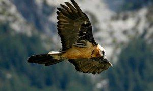 Nace el primer quebrantahuesos en Picos de Europa desde su extinción a mediados del siglo pasado. - EFE