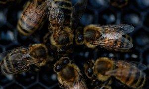 Abejas en peligro: un seguro de vida para la naturaleza y la España vaciada