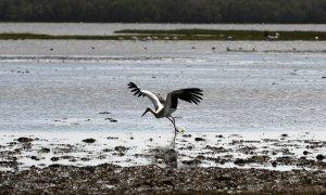 Una cigüeña blanca vuela de un pantano en el parque nacional de Donana en Huelva. AFP/Cristina Quicler