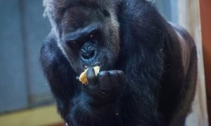 Imagen de archivo de un gorila en zoológico. EFE