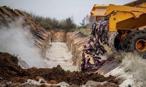 Una máquina excavador arroja a una fosa los cuerpos sin vida de cientos de visones que han sido sacrificados en Dinamarca.