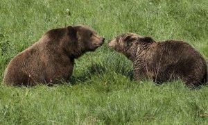 Dos osos pardos en una imagen de archivo.