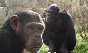 África y Toto, dos de los chimpancés de la Fundación Mona.