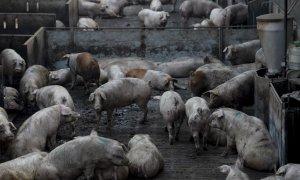Imagen de archivo de una granja porcina en Lleida, España.