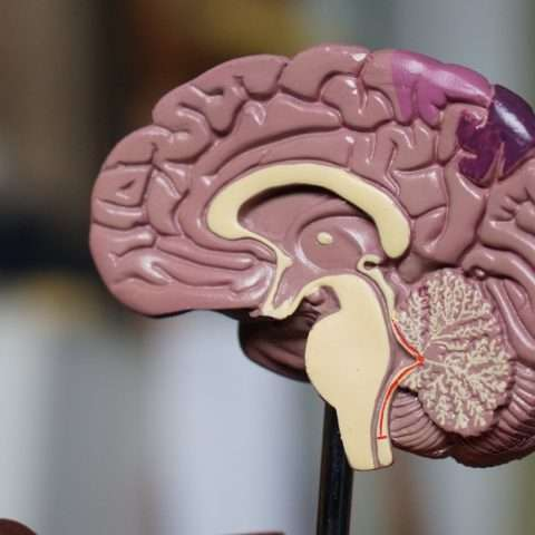 Cuáles son las partes del cerebro