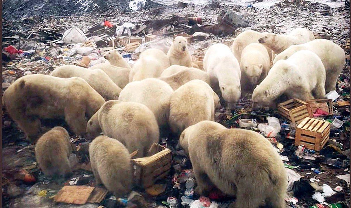 Resultado de imagen para osos polares via extincion 2019
