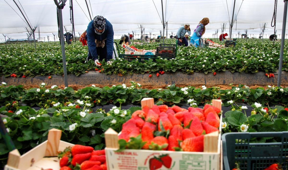 Jornaleros traídos de Honduras trabajarán en la próxima campaña de la fresa en Huelva, necesitada de más mano de obra