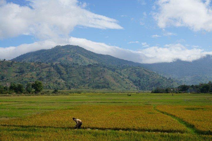 Mujeres trabajando en las plantaciones de arroz, en las tierras centrales vietnamitas