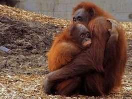 Orangutanes abrazados. Fuente: Flickriver