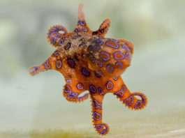 blue_ringed_octopuss_pixabay